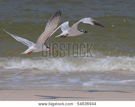 Sea Terns in Flight