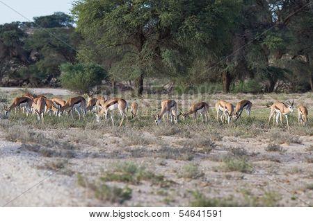 Herd Of Springbok Grazing In The Kalahari Desert