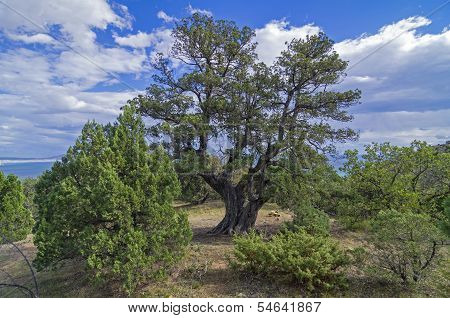 Relict juniper tree, Crimea.