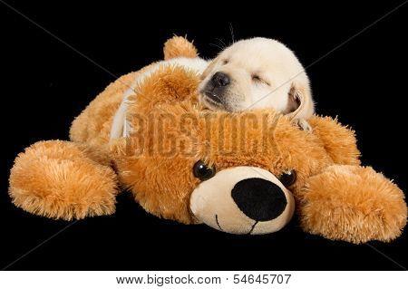 Labrador Puppy Sleeping On Big Brown Teddy Bear