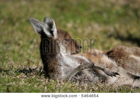 Cleaning up kangaroo