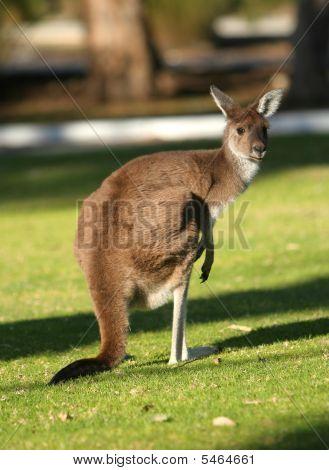 Kangaroo lookingback