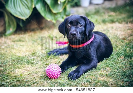 black labrador retriever on grass