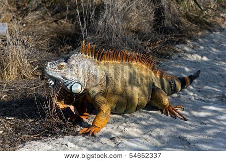 Orange Iguana on the Sand , a portrait
