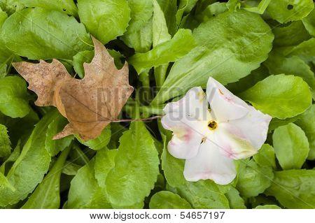 Camela Flower And Dead Leaf