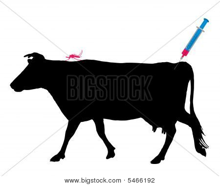 Cow Gets An Immunization Against A Disease Of Mosquito Bites