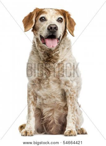 Old Brittany dog with eye cysts, panting, 12 years old, isolated on white