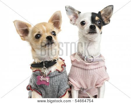 Close-up of dressed-up Chihuahuas, looking up, isolated on white