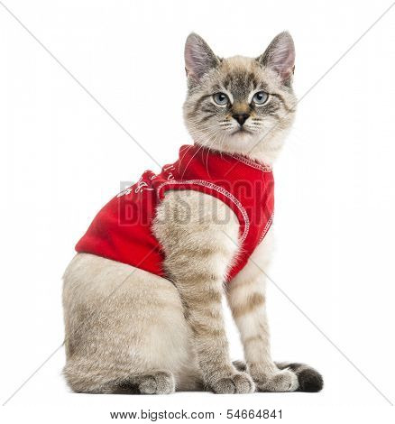 Side view of a Siamese with red top, looking at the camera, 5 months old, isolated on white