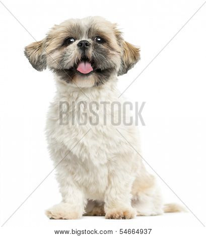 Shih tzu sitting, panting, 2 years old, isolated on white