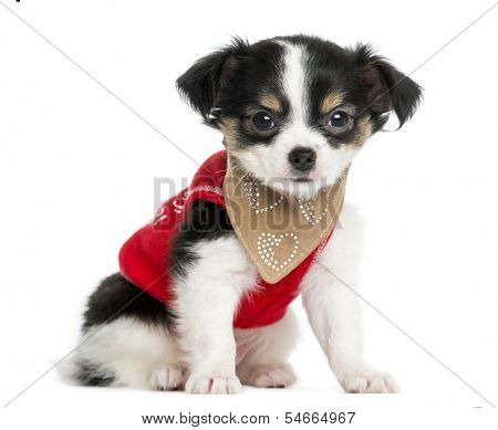 Dressed-up Chihuahua puppy sitting, looking at the camera, 3 months old, isolated on white
