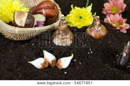 Flower bulbs on humus, on dark background