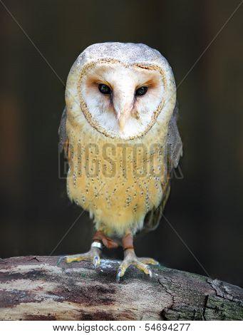 Barn - Tyto Alba - Owl Posing On Branch