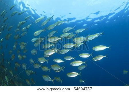 Shoal of tuna fish underwater