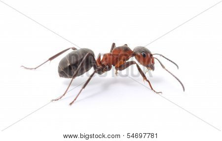 Isolated Red Ant