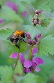 stock photo of bumble bee  - The bumble - JPG