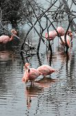 picture of pink flamingos  - Flamingos have arrived to the island of Isabella Galapagos Archipelago Ecuador - JPG