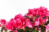 picture of azalea  - Azalea - JPG