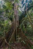 big tree in the peruvian Amazon jungle at Madre de Dios Peru