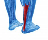 foto of calf  - 3d rendering of human achilles tendon in x - JPG