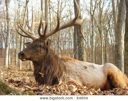 Full Grown Elk