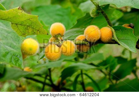 Solanum stramonifolium  hanging on tree