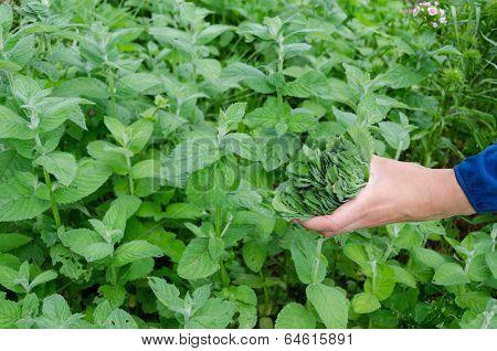 Herbalist Hand Pick Mint Herb Leaves In Garden