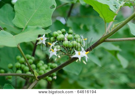 Pea eggplant growing on tree