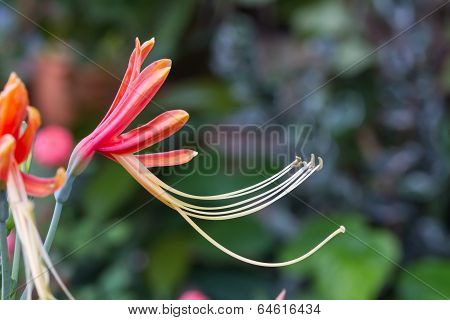 Hippeastrum cybister hybrid in garden
