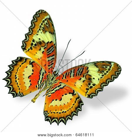 Malay Lacewing Butterfly Fully Wing Open In Natural Profile Isolated On White Background With Soft S