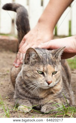 Tortoiseshell Tabby Cat In Yard Getting A Pat