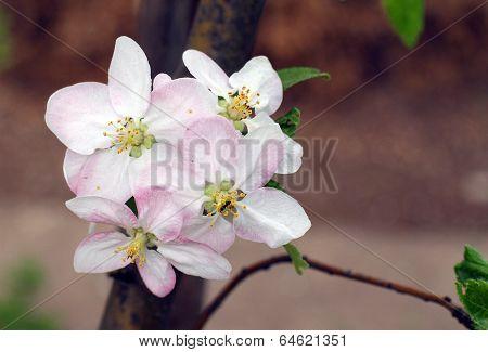 Blooming Apple-tree In Spring