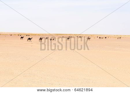Herd Of Dromedaries, Rub Al-khali Desert (oman)