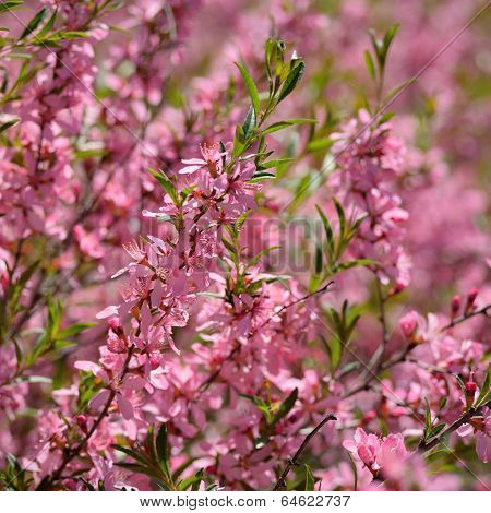 Pink Blossom Of Prunus Tenella Or Almond Steppe