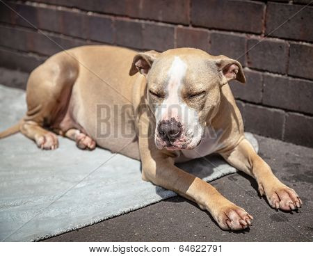 Staffordshire Bull Terrier Sleeping On A Blanket In The Sunlight