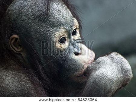 Close Up Of Little Orangutan (pongo Pygmaeus)