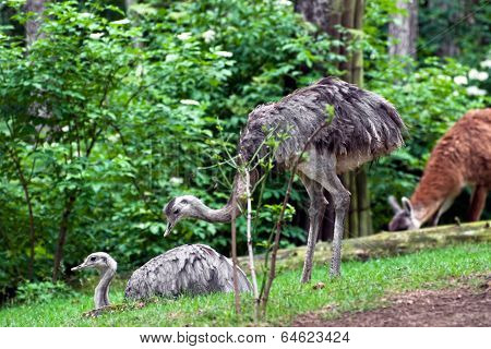 Pair Of Emu (dromaius Novaehollandiae)