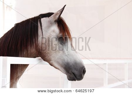 A closeup of a beautiful brownish grey Arabian horse