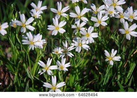 Blossom  Stella Starwort