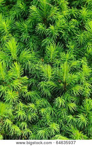 Closeup Of Spruce Conica