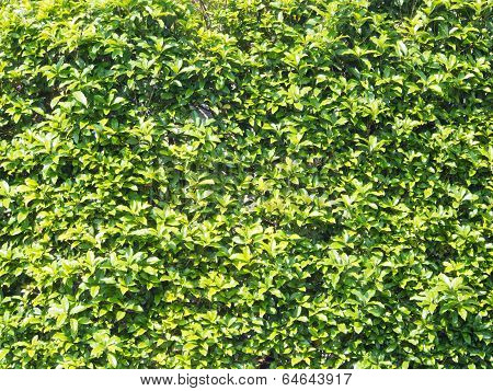 Hedge That Young Leaves Are Overgrown