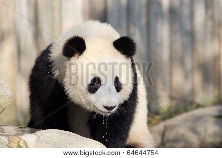 Giant Panda Drinking Water. Chengdu, China