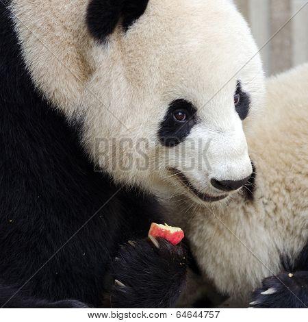 Giant Panda Eating Apple. Chengdu, China