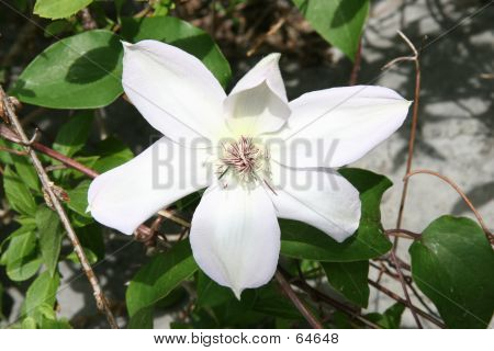 Clematis Flower White And Red