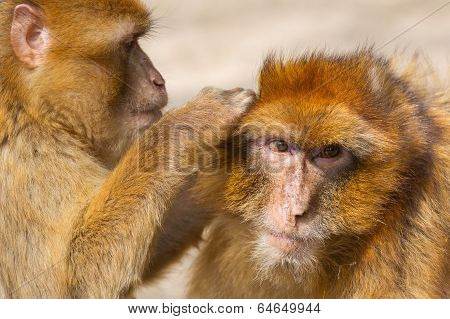 Two Mature Barbary Macaque Grooming