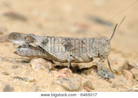 Grasshopper Oedipoda Caerulescens