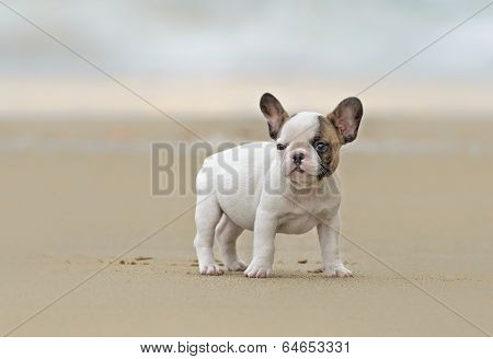 French Bulldog Puppy At The Beach