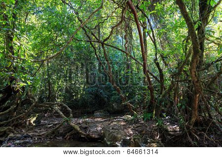 Dense jungle with twisted and entangled vines int he Khao Sok national park, Thailand