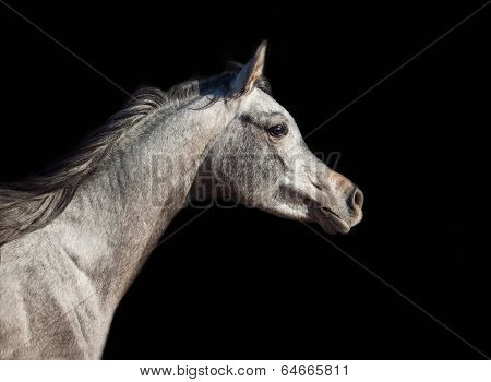Portrait Of Young Arabian Filly In Motion Isolated On Black