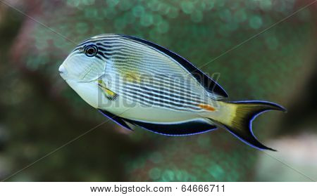 Close-up view of a Sohal surgeonfish